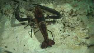 Креветка. Подводное видео. Full HD video.