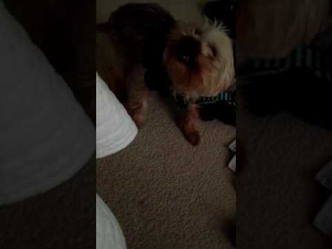 My Yorkie greets me with a smile.  Every morning!