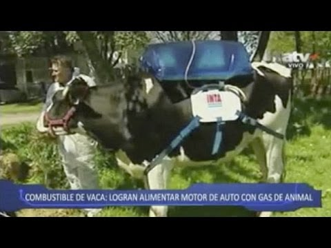 Cows Wear 'Fartpacks' Which Catch Enough Gas to Power a Car