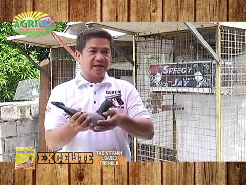RACING PIGEON TIPS BY JAY SANTIAGO   SPEEDY JAY RACING PIGEON PHILIPPINES