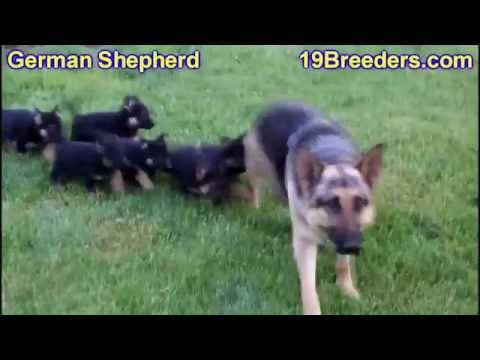 German Shepherd, Puppies, Dogs, For Sale, In Chicago, Illinois, IL, 19Breeders, Rockford, Naperville