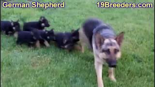 German Shepherd, Puppies, For, Sale, In, Chicago, Illinois, Il, Carol Stream, Streamwood, Plainfield