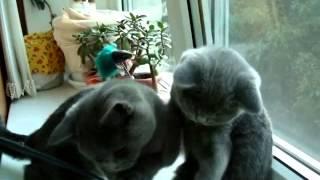Продажа британских котят из питомника Шантерель
