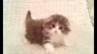 Шотландский вислоухий котенок. Окрас голубой с белым
