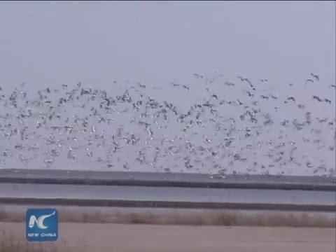 Massive migratory bird flocks returning China's north