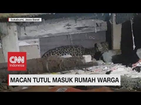 Macan Tutul Masuk Rumah Warga