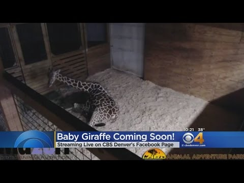 Thumbnail: Thousands Watch, Wait For Giraffe To Give Birth On Live Stream