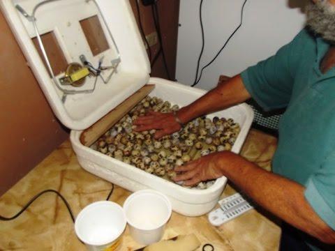 Como criar codornices en incubadora youtube for Jaulas para cria de peces