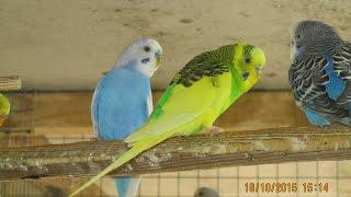#Попугаи, профилактика заболеваний от пухопероеда, грибка и клещей ч.2