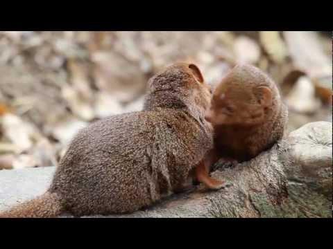 Cute Dwarf Mongooses, Tennoji Zoo, Osaka  天王寺動物園のかわいいコビトマングース