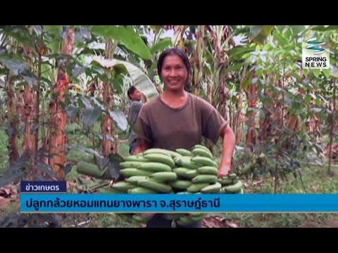เกษตรกรสุราษฎร์ธานี ปลูกกล้วยหอมทองส่งออกแทนยางพารา - Springnews