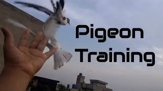 Training high flying pigeons-letting your pigeons out side the loft 8th