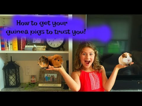 How to gain your guinea pigs trust