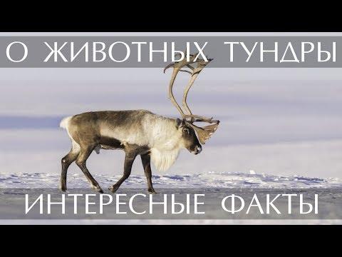 Интресные факты о животных Тундры