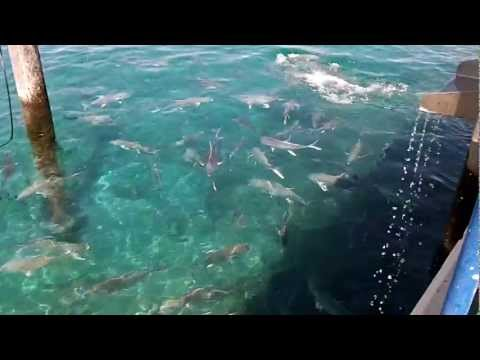 Feeding Big Jack At Sailfish Marina Singer Island Florida
