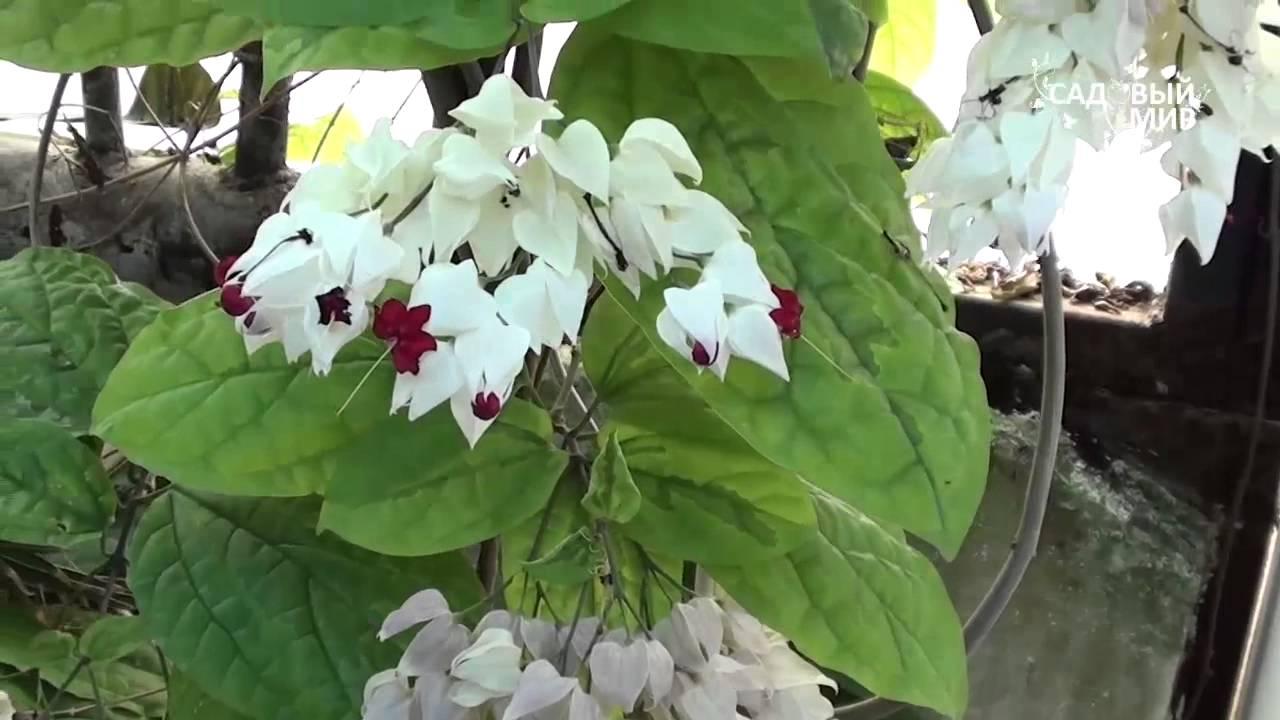 Мадам томпсон фото цветок
