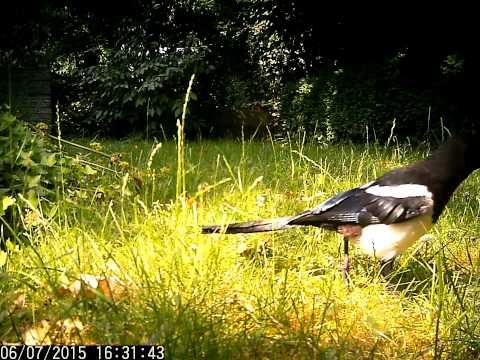 Faszinierende Welt der Vogelstimmen: Eine Elster keckert einen Warnruf