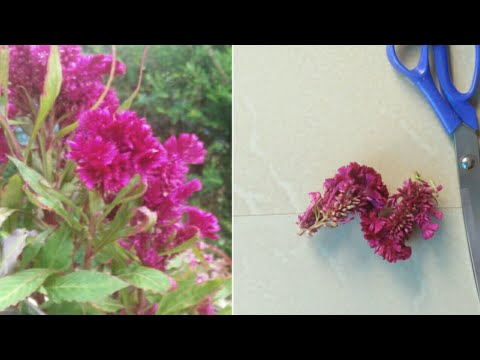 How To Collect And Save Cokscomb Seeds| How To Grow Cockscomb Plant From Seeds (part1)