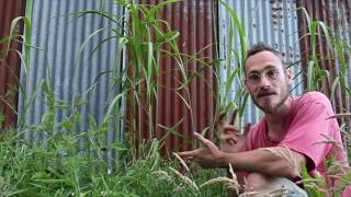 10 plantes pour le paillage en permaculture 07/10 : Le Miscanthus