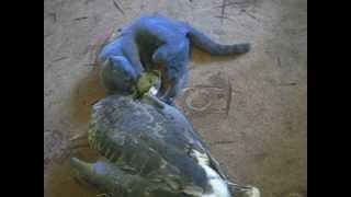 кошка и гусь.avi