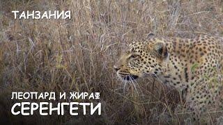 Мир Приключений - Леопард и жираф. Атака леопарда. Серенгети. Танзания. Leopard attack. Serengeti.