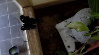 苗床でホトトギスを育てていたところ、5月中旬に「ルリタテハ蝶」の幼虫...