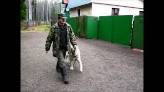 Дрессировка щенка САО алабая (в спокойной обстановке и с использованием другой собаки)