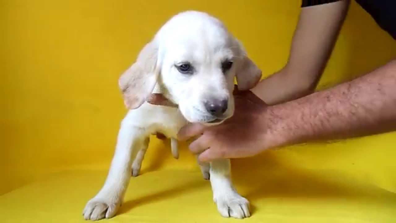 Labrador hembra 1 cachorros labrador disponibles de 2 meses 01 55 84885050 youtube - Comida para cachorros de un mes ...