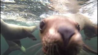 Steller sea lions - Hornby Island