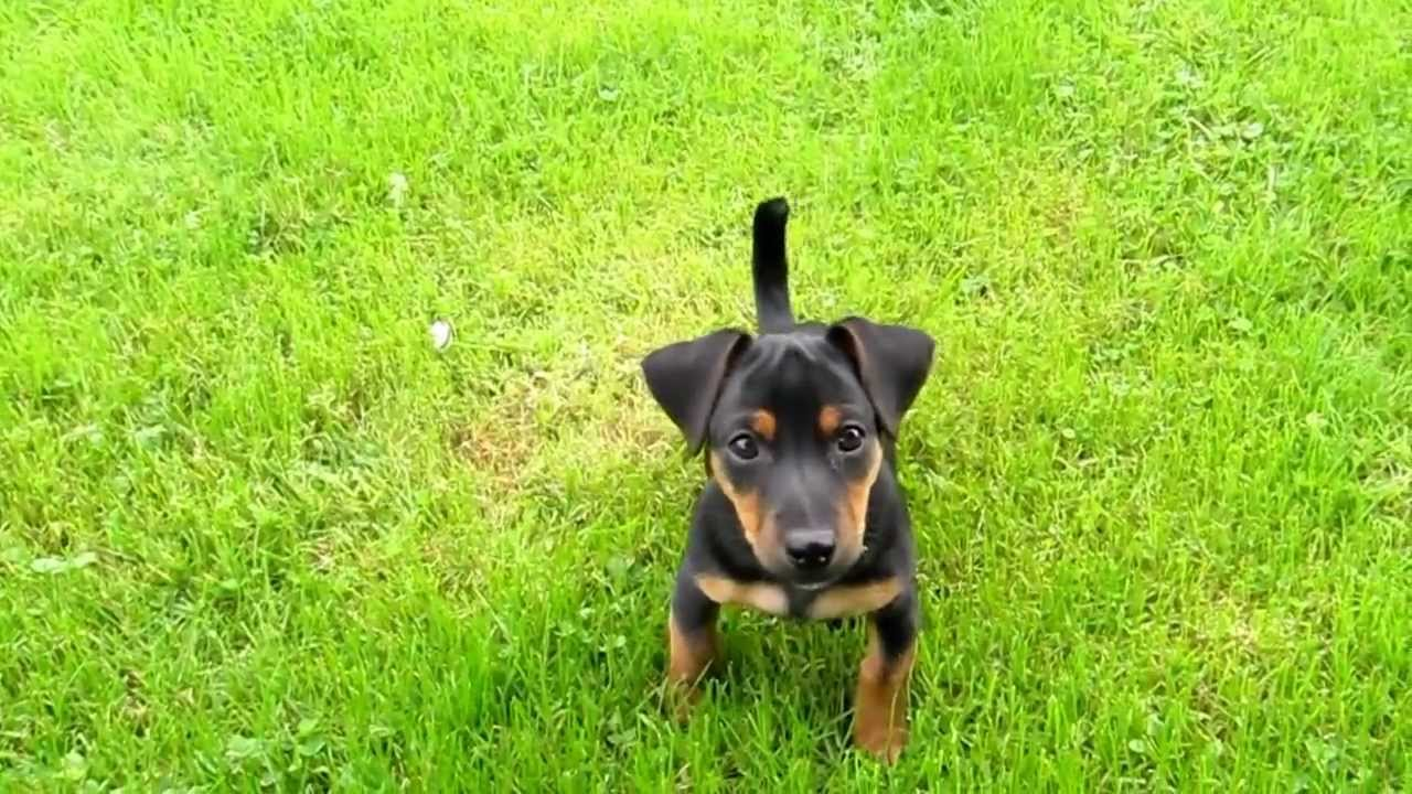 miniature jack russell terrier puppies for sale farghy a male irish black and tan jack russell terrier 2799