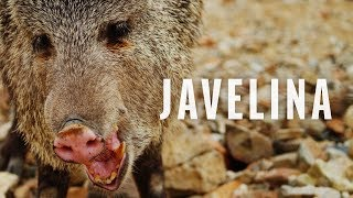 Gambar cover Critter Spotlight - The Javelina