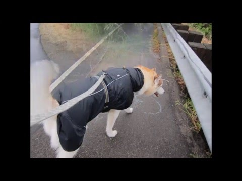 husky in a  raincoat april 10 2016