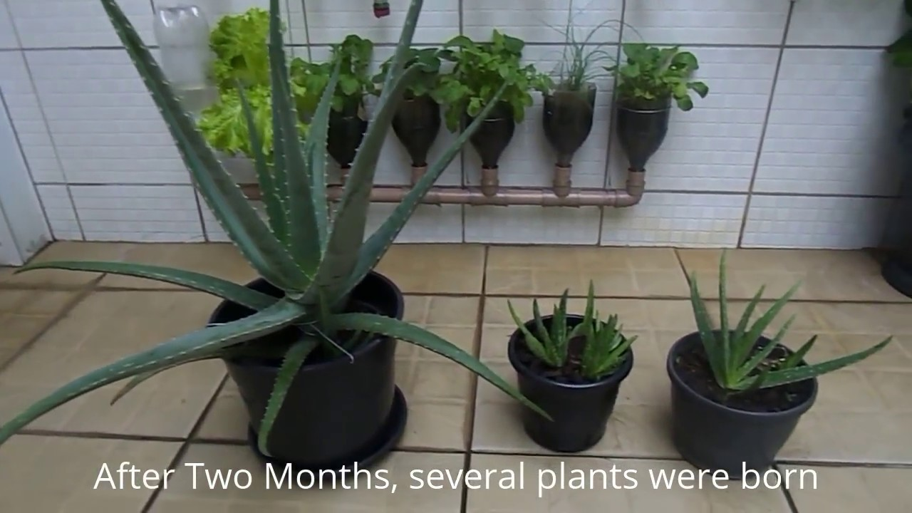 how to grow aloe vera at home is very easy youtube. Black Bedroom Furniture Sets. Home Design Ideas