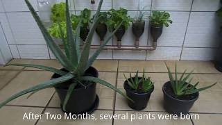 How to grow aloe vera at home - Is very easy