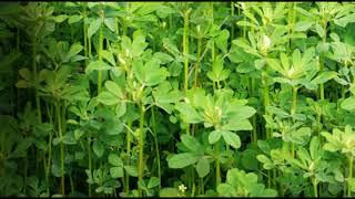 ॥ ऐसे करें मेथी की खेती ॥Fenugreek cultivation