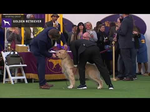 Golden Retriever | Breed Judging 2020