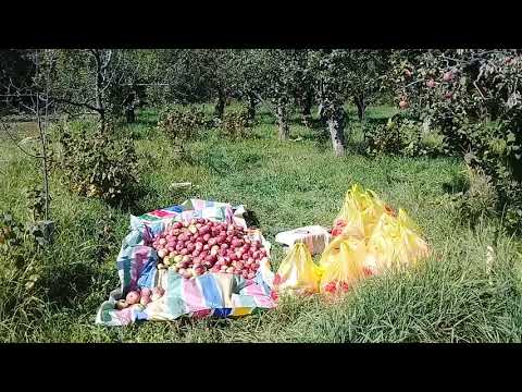 Сбор урожая Яблок на Иссык- куле 2019.Апорт,Рашида,Талгарка. | яблоневый | талгарка | куле_2019 | яблоки | урожая | урожай | рашида | яблон | яблок | иссык