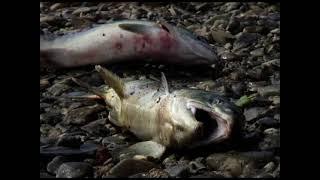 Когда  на Сахалин приходит лосось