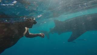 Requins baleine_Mai 2017_Nosy Be, Les Baleines Rand'eau