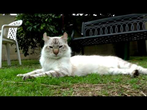 Lynx Hybrid  Cat