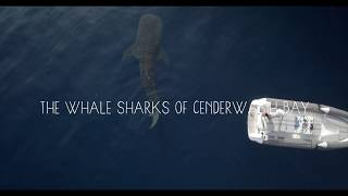 Download Video The Whale Sharks of Cenderawasih Bay MP3 3GP MP4