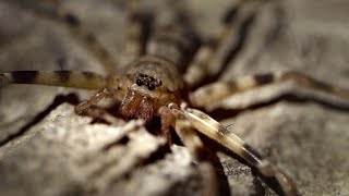 The Giant Huntsman is a Cave Spider of Nightmarish Proportions