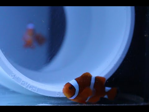 Ep 13 - Limited Edition Citron Clownfish And My ORA Sharknose Goby