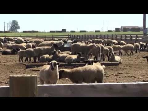 SPANISH -- How to Handle Sheep -- Part 1 -- General Principles for Handling Sheep