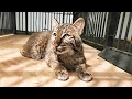 Meet Wyeth The Rehab Bobcat