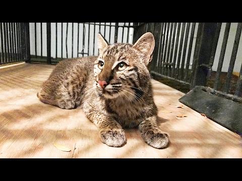 Meet Wyeth The Rehab Bobcat