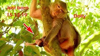 Welcome new baby monkey, Alpha Dolly just gave new birth