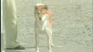 動く名犬達をご覧下さい。 平成3年11月16日撮影 開催地は埼玉県 登...