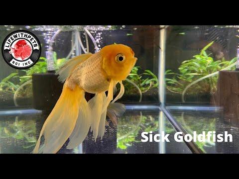 Sick Goldfish