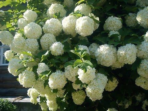 Весенняя радость сада: цветение кустарников